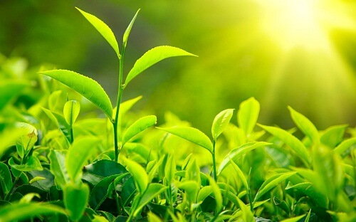 5 phút mỗi ngày với cách chữa hôi miệng bằng trà xanh 1