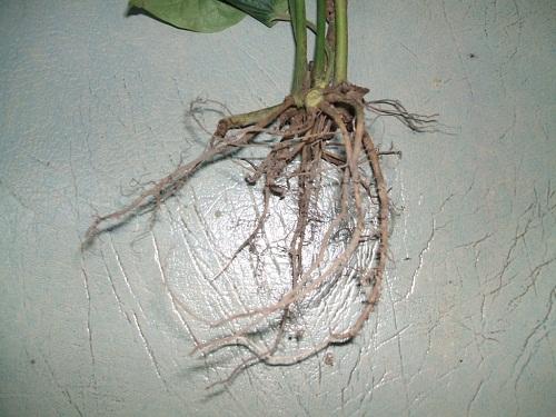 Chữa hôi miệng bằng rễ lá lốt